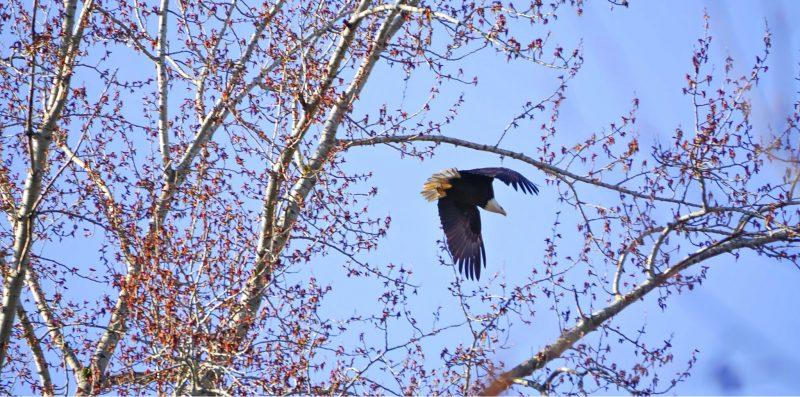 Bald Eagle Sammamish River Trail